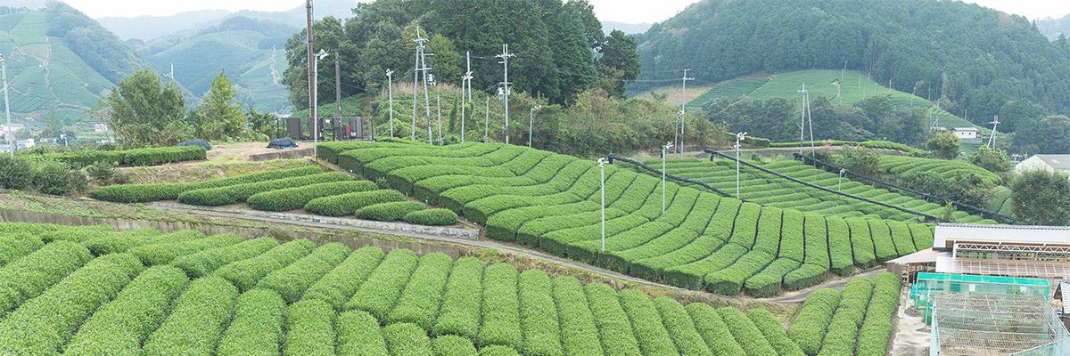 Плантации чая в Японии