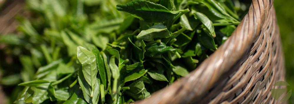 Зеленый чай, готов к обработке